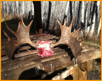 Alberta Moose Hunts